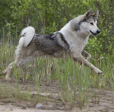 West Siberian Laika / Zapadno-Sibirskaïa Laïka #Dogs ...