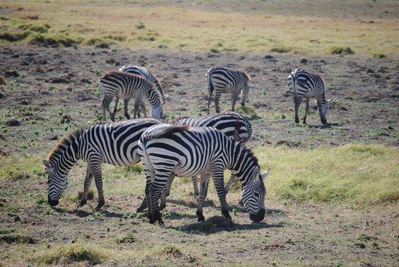 Zebras at Amboseli Kenya