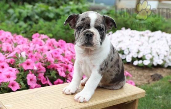 Ace Frenchton Puppy For Sale In Rebersburg Pa Lancaster