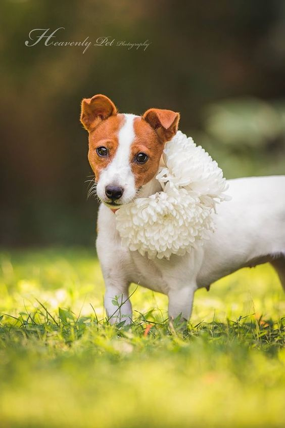 Rescue Jack Russell Terrier Jackie looking for a home. Photo by Heavenly Pet Photography
