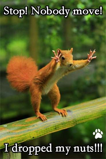 Funny photo with caption squirrel stop nobody move i dropped my nuts: