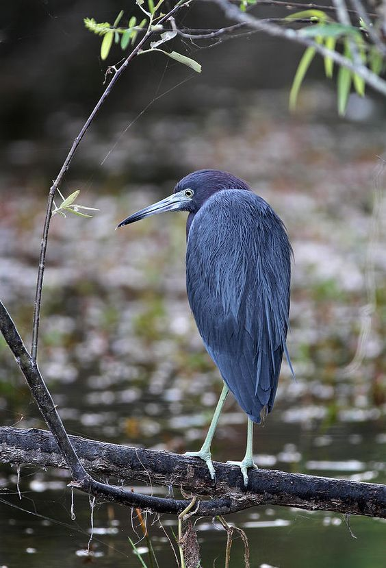 Blue Heron at Florida Everglades