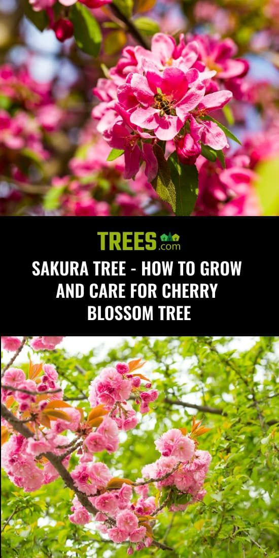 Sakura Tree How To Grow And Care For Cherry Blossom Tree Sakura Tree Cherry Blossom Tree Blossom Trees