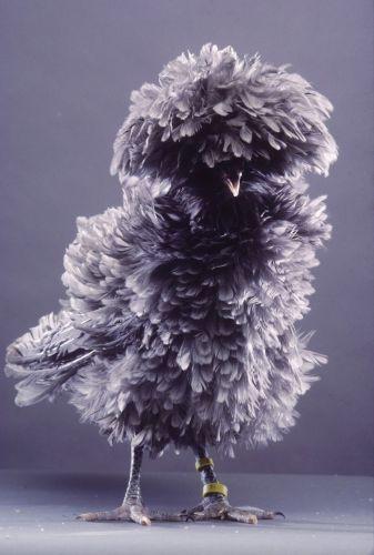 Polish frizzle blue