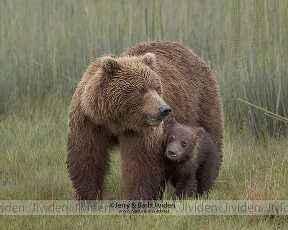 """By Your Side,"" Grizzly Bear Sow and Cub, by ©Jerry & Barb Jividen 
