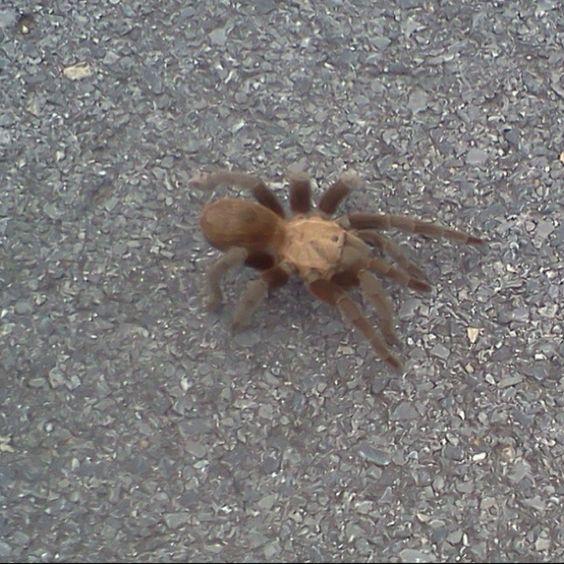 Scary tarantula