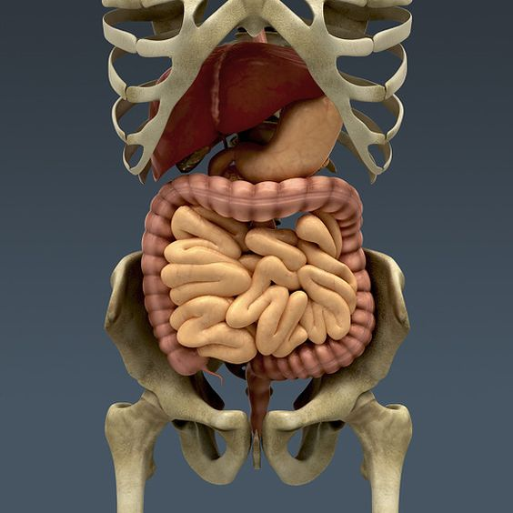 real human intestines google search cure pinterest