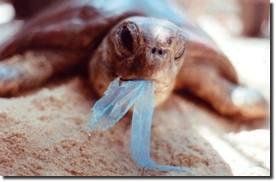 Quando os animais ingere esses plásticos eles correm risco de vida por asfixia ou problemas causado digestão, leia mais em:  http://www.lucimarestreladamanha.blogspot.com.br/2012/11/plasticos-o-poluidor-dos-mares.html