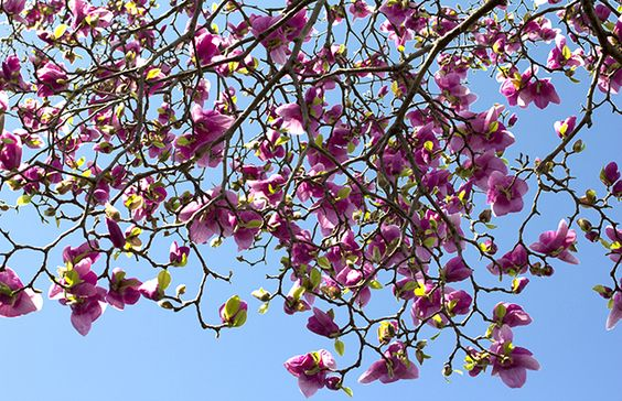 紫木蓮 shimokuren_2