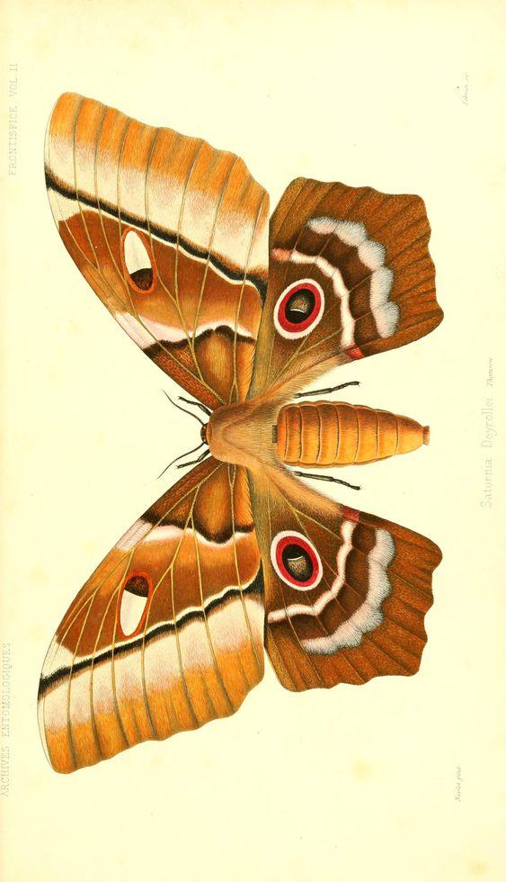 Saturnia deyrollei archives entomologiques ou recueil - Tatouage gitane signification ...