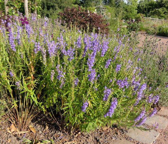 Großartig für Kiesgärten: das Baikal-Helmkraut (Scutellaria baicalensis).