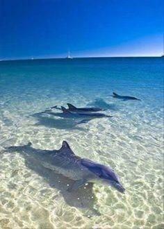 Meet the Dolphins that swim in the warm waters of Fuerteventura in the Canary Islands! #Fuerteventura #CanaryIslands http://www.timeshare-hypermarket.com/destinations/fuerteventura.aspx
