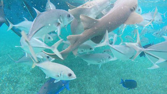 Schnorcheln mit Haien in Belize