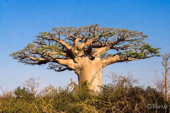 Baobab sur la route de Morombe