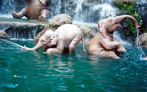 Baby elephants bathing. I've kept coming back to this photo all day. They look a lot like baby people to me, in a way that feels a little eerie.