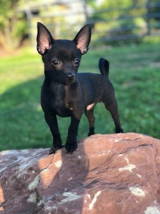 Pin By Tammy Schmitt On Hunde Cute Chihuahua Baby Chihuahua Puppies
