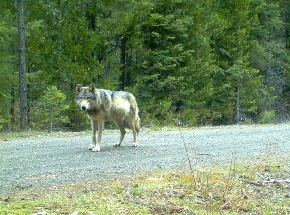 First Wolves Born In Oregon Cascades Since The 1940s Caught On Camera (And They're Adorable)
