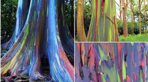 La corteza multicolor del 'Eucalyptus deglupta' parece obra de un artista psicodélico. En realidad, ... - Externa