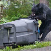 Cerfs et ours envahissent les villes américaines