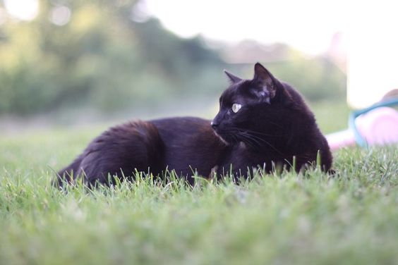 Fall - My FAVORITE Season. Nothing kicks off the spirit like a beautiful black cat! I know this one isn't spooky or anything, I just plain love how it looks. Elegant and mysterious