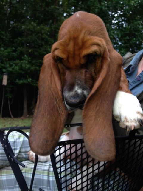 Basset Hounds In West Virginia With Images Bassett Hound