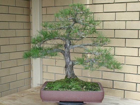 Large red pine