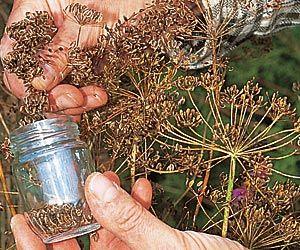 Au potager : récolter et conserver les graines des légumes et plantes cultivées - Aneth vraiment facile