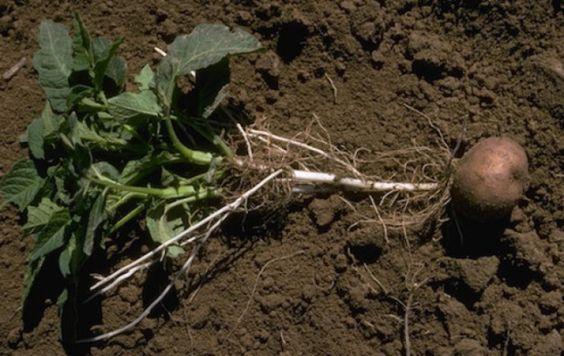 4-pasos-sencillos-para-cultivar-45-kg-de-patatas-en-un-barril