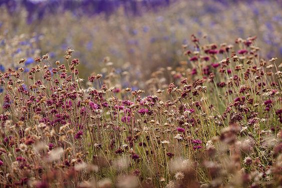 All sizes | Red Field Flowers | Flickr - Photo Sharing!