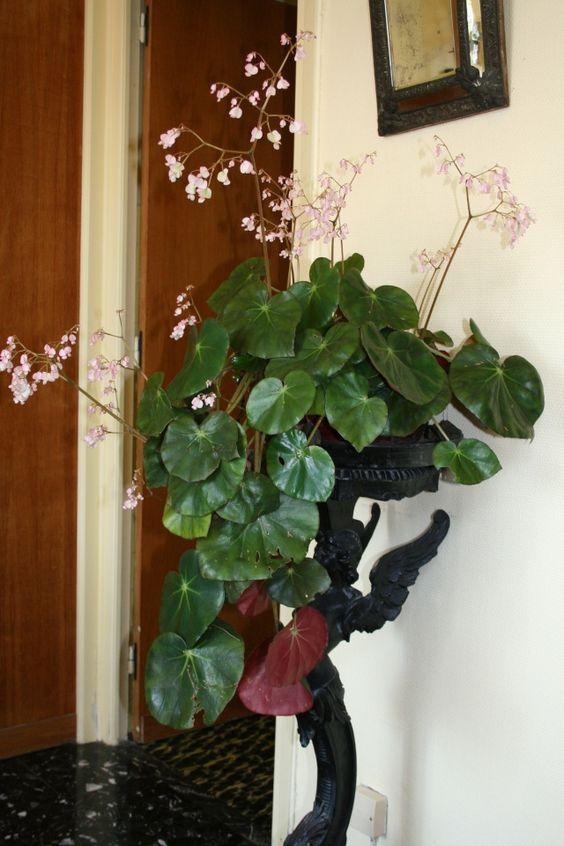 Begonia Erythrophylla ~ Beefsteak Begonia