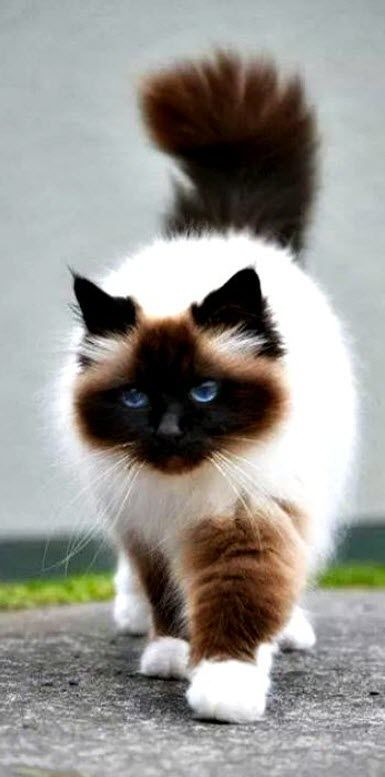 so pretty......  Himalayan cat - Himalayan cats are the result of crossbreeding Siamese with Persian cats.: