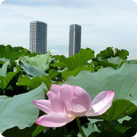 Ueno Shinobazunoike Pond