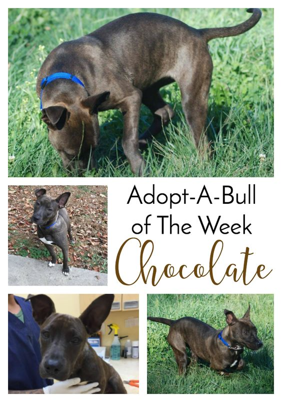 Adopt-A-Bull of The Week – Chocolate in Pennsylvania | http://www.thelazypitbull.com/adopt-a-bull-chocolate-pennsylvania/