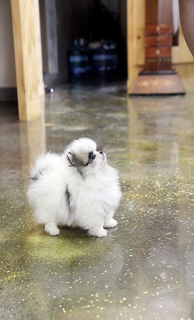 Who wouldn't want to get a teacup pomeranian puppy CUTE LIKE THIS?? so tiny,and has the fluffy fur coat,also,big eyes and short face! Ask all about it now! 1209jms@hanmail.net