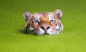 Tiger in the green - stock photo