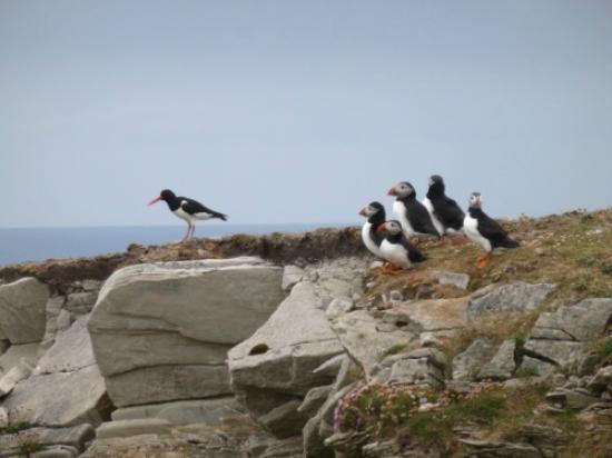 Fair Isle / Friðarey / Fara - Oystercatcher & Puffins   Sealtainn ...