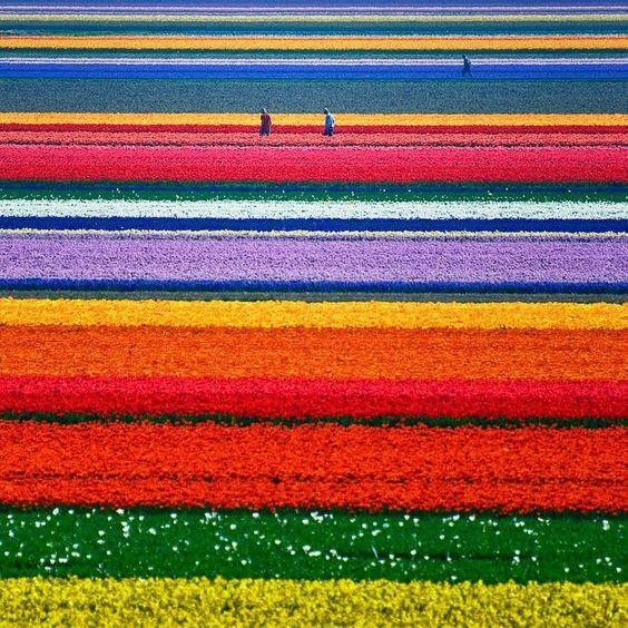 The Dutch Tulip fields in spring.: