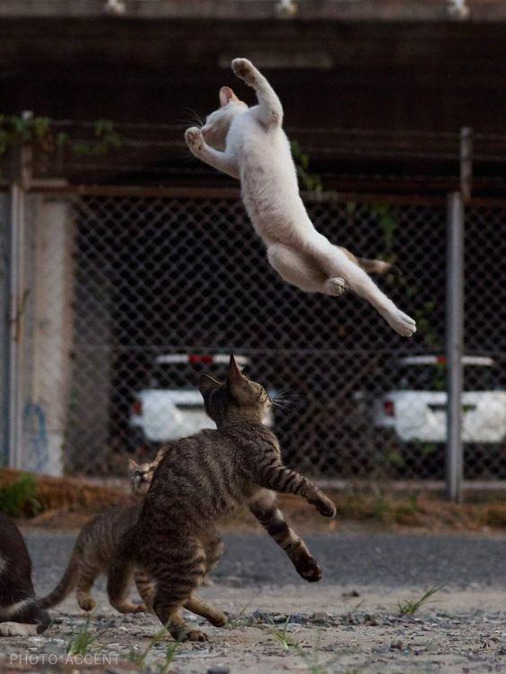 戦闘する猫