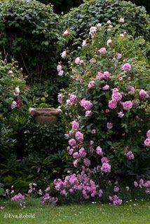 roses on pinterest. Black Bedroom Furniture Sets. Home Design Ideas