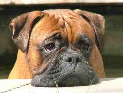 """Rassemerkmale: Kurzes Fell, Farbe: hellbraun oder gestromt, teilweise mit weißen Abzeichen an der Brust und mit schwarzer, flacher Schnauze (schwarze Maske). Der Halter kann die Bedürfnisse des Hundes an seinem ausdrucksvollen Mienenspiel """"ablesen"""". Typisches Kennzeichen des Boxers ist der Vorbiss, d.h. der Unterkiefer überragt den Oberkiefer. Bei entsprechender Ernährung haben Sie ein Muskelpaket, das durch …"""