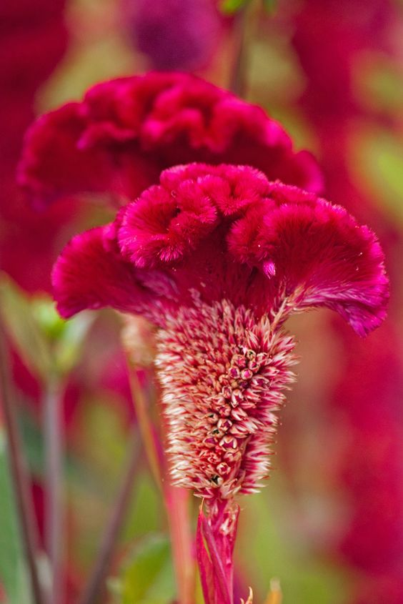 """gyclli: """"  Red Cockscomb / By mclcbooks """""""