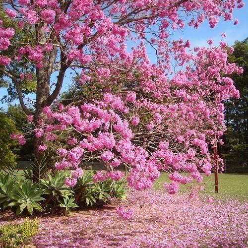 Tabebuia rosea ROSY TRUMPET TREE Seeds