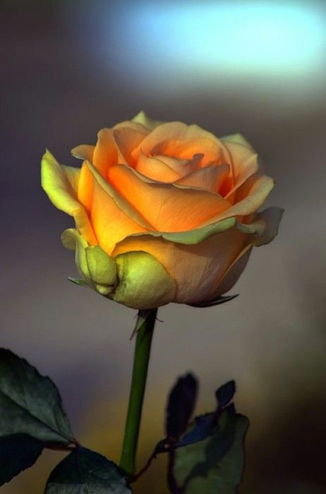 The rose, beautiful in every way ...: