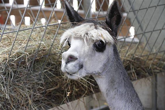 Cute Alpaca...Do you think I am cute?