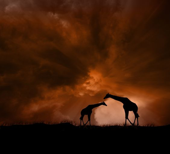 bushfire silhouettes.   // by peter holme iii