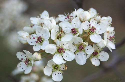Are Bradford Pear Trees Poisonous To Humans Hunker Bradford Pear Tree Bradford Pear Flowering Pear Tree