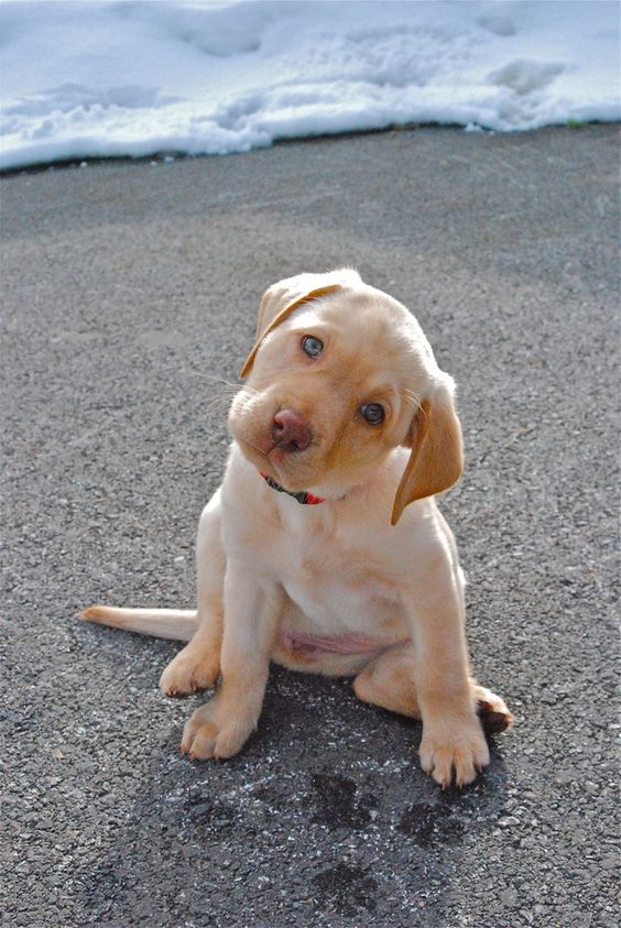 Adorable yellow lab puppy named Aspen in Thayne, Wyoming • photo: Kory Ingersoll on 500px