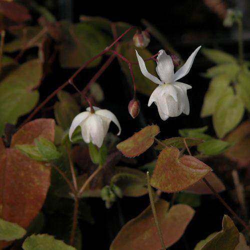 EPIMEDIUM youngianum 'Niveum' (Fleur des Elfes) : Couvre-sol d'une grande valeur ornementale pour situations fraîches et ombragées. Feuillage décoratif de longue durée. Jolies couleurs printanières et automnales. Fleurs semblables à de petites ancolies, apparaissant avant le renouvellement du feuillage.  Non rhizomateux. Feuilles à lobes allongés. Fleurs blanches.