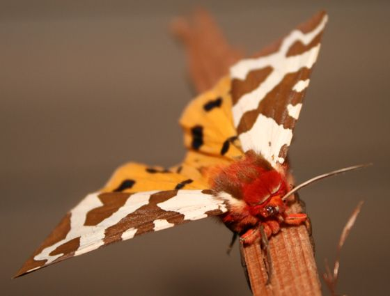 BEAUTIFUL BROWN Butterflies | beautiful red orange black white brown spotted moth - Arctia caja ...