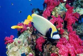 Red Sea Diving near Sharm al Sheik.  Emperor Angel Fish.